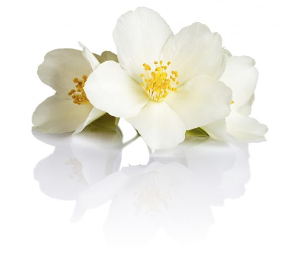 Symbolic And Spiritual Meaning Of Jasmine Flowers